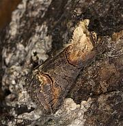 Dark Spectacle, Abrostola triplasia, Co Louth