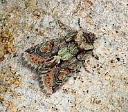 Psaphidinae: Sprawler, Green-brindled Crescent & Early Grey (73.065-73.069)