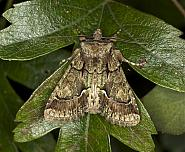 Green-brindled Crescent, Allophyes oxyacanthae, Co Louth