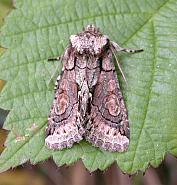 73.068 Green-brindled Crescent, Allophyes oxyacanthae, Co Wicklow