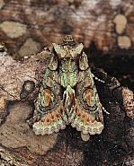 Green-brindled Crescent Allophyes oxyacanthae, Co Leitrim