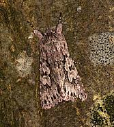 73.069 Early Grey, Xylocampa areola, Co Louth
