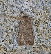 73.095 Pale Mottled Willow Caradrina clavipalpis, Co Cork