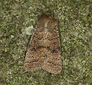 73.096 Uncertain, Hoplodrina alsines, Co Louth