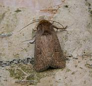 73.097 Rustic, Hoplodrina blanda, Co Wicklow