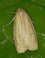 73.1 Silky Wainscot, Chilodes maritimus, Co. Wicklow