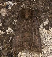73.102 Brown Rustic, Rusina ferruginea, Co Armagh