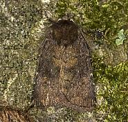 73.102 Brown Rustic, Rusina ferruginea, Co Louth
