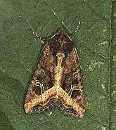 73.119 Crescent, Helotropha leucostigma, Co Louth