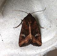 73.119 Crescent, Helotropha leucostigma, Co Cork