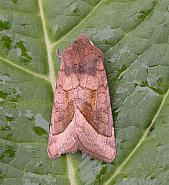 73.123 Rosy Rustic, Hydraecia micacea, Co Wicklow
