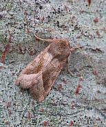 Rosy Rustic, Hydraecia micacea, Co Donegal
