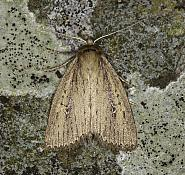 73.141 Brown-veined Wainscot, Archanara dissoluta