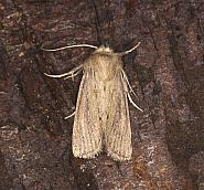 Small Wainscot, Denticucullus pygmina, Co Louth