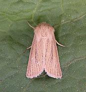 73.144 Small Wainscot, Denticucullus pygmina, Co Wicklow