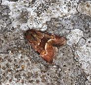 73.146 Least Minor, Photedes captiuncula