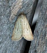 73.147 Small Dotted Buff, Photedes minima