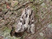 73.154 Dusky Brocade, Apamea remissa, Co. Meath