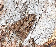 73.154 Dusky Brocade Apamea remissa, Co Leitrim
