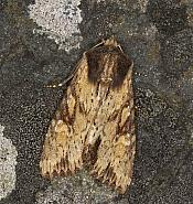 73.156 Clouded-bordered Brindle, Apamea crenata, Co Louth