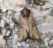 73.156 Clouded-bordered Brindle, Apamea crenata, Co Wicklow
