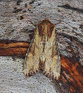 Clouded-bordered Brindle, Apamea crenata, Co Leitrim