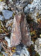 Clouded-bordered Brindle, Apamea crenata, Co.Leitrim