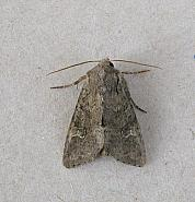 73.158 Rustic Shoulder-knot, Apamea sordens, Co Wexford