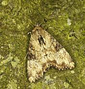 73 160 Slender Brindle, Apamea scolopacina, Co Louth