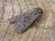 73.161 Crescent Striped, Apamea oblonga