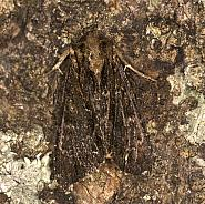 73.162 Dark Arches, Apamea monoglypha, Co Louth