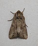 73.162 Dark Arches, Apamea monoglypha, Co Wicklow