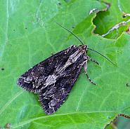 Dark Arches, Apamea monoglypha, Co Donegal