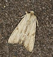 73.163 Light Arches, Apamea lithoxylaea, Co Louth