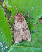 73.164 Reddish Light Arches, Apamea sublustris