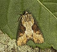73.168 Double Lobed, Apamea ophiogramma, Co Louth
