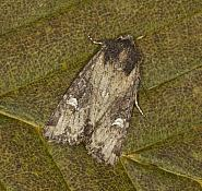 73.169 Common Rustic, Mesapamea secalis, Co Louth