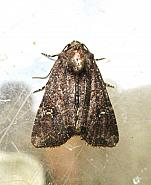 73.169 Common Rustic, Mesapamea secalis, Co Limerick