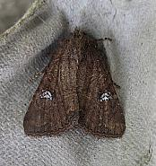 73.169 Common Rustic, Mesapamea secalis, Co Cork