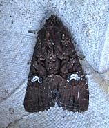 73.170 Lesser Common Rustic, Mesapamea didyma, Co Kerry