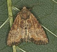 73.172 Cloaked Minor, Mesoligia furuncula, Co Louth