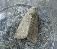 73.172 Cloaked Minor, Mesoligia furuncula