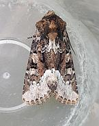 73.173 Marbled Minor