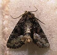 73.174 Tawny Marbled Minor, Oligia latruncula