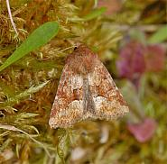 73.176 Middle-barred Minor, Oligia fasciuncula