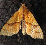73.179 Orange Sallow, Tiliacea citrago, Co Antrim