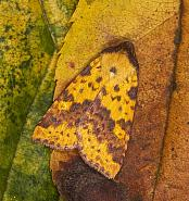73.181 Pink-barred Sallow, Xanthia togata