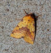 Pink-barred Sallow, Xanthia togata, Co Leitrim