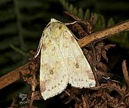 73.182 Sallow, Cirrhia icteritia, Co Louth