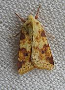 73.182 Sallow, Cirrhia icteritia, Co Down